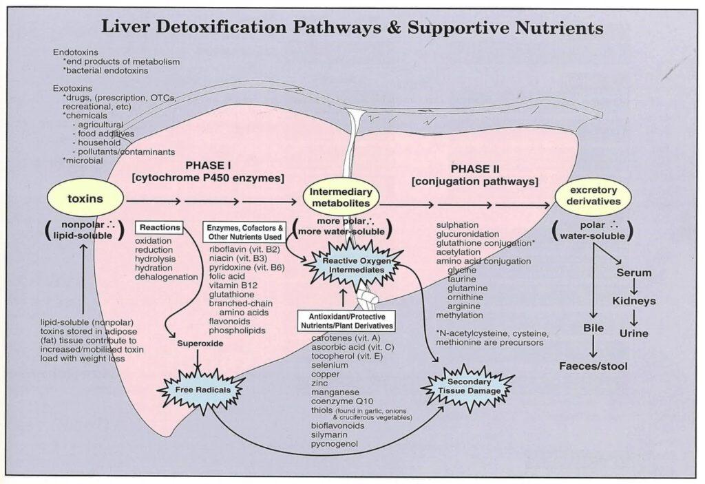 liver-detox-pathway2